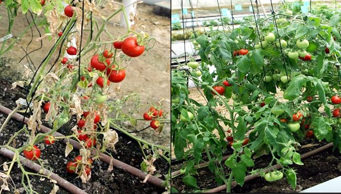 tomatos580